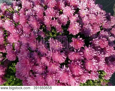 Many Chrysanthemum Flowers As A Natural Background