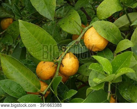 Many Orange Lemons On The Tree Branch