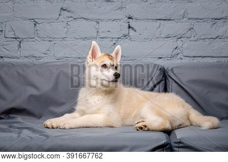 Funny Puppy Husky Breed Age 2.5 Months Of Light Color On A Gray Sofa At Home On A Brick Wall Backgro