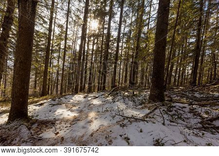 The Pristine Nature Of The Zeya Reserve. Coniferous Grove In The Snow.