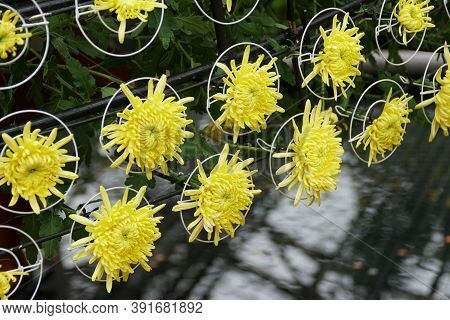 Yellow Spider Mum Flowers Arranged Inside The Metal Rings
