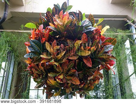 A Big And Colorful Croton Plant Inside A Hanging Pot