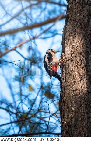 Little Woodpecker Sits On A Tree Trunk. A Woodpecker Obtains Food On A Large Tree Without Leaves In