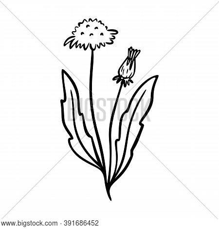 Dandelion Outline Hand Drawn Logo Element. Herbs Doodle Botanical Icon Dandelion For Logo. Herbal An