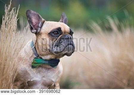 Fawn French Bulldog Dog With Bowtie Sticking Head Out Between Dried Plants