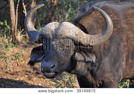 Big Male Buffalo