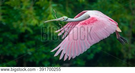 Roseate Spoonbill Bird In Flight, Close Up Of Roseate Spoonbill In Flight