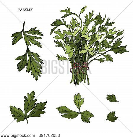 Parsley Sketch Colorful Illustration.detailed Hand Drawn Sketch.kitchen Herbal And Food Ingredient.