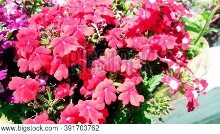 The Showy Fragrant Flowers Of Phlox Paniculata In High Summer, Commonly Called Fall Phlox Or Garden