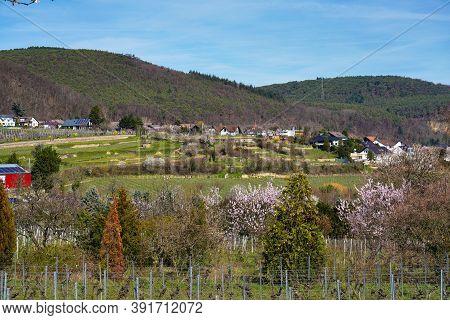 Almond Trees, Prunus Dulcis Blooming, Southern Wine Street, Gimmeldingen Neustadt, Rhineland-palatin