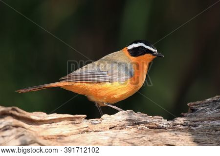 The White-browed Robin-chat (cossypha Heuglini), Sitting On The Branch With Dark Background.
