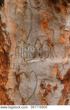Hearts Gouged On Australian Gum Tree Trunk.  Concept