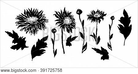 Wild Black And White Chrysanthemum Flowers, Stems, Buds And Leaves Isolated On White Background. Set