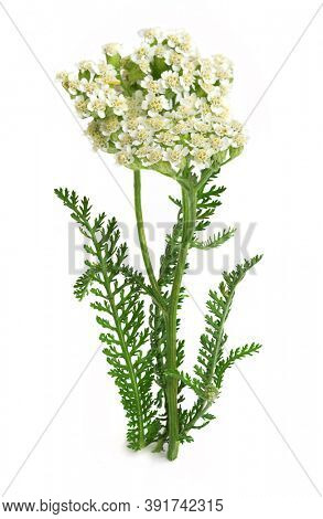 Yarrow or common yarrow, gordaldo, nosebleed plant, old man's pepper, devil's nettle, sanguinary, milfoil, soldier's woundwort, thousand-leaf, and thousand-seal (Achillea millefolium)