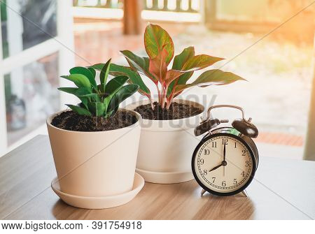 Green Tree In White Ceramic Pots With Clock On The Wooden Table. Concept At Home Interior Gardening