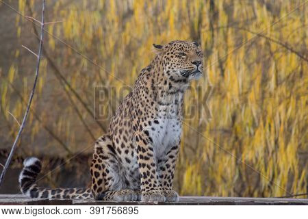 Wild Leopard Is Sitting On A Background Of Beautiful Yellow Trees. Panthera Pardus.