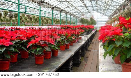 The Bright Red Flowers Of Poinsettia, Otherwise Called The Christmas Star, With Dark Green Leaves. M