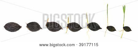 Sequence Of Palm Plant Growing Isolated On White