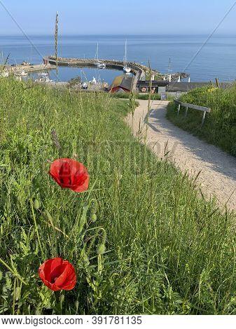 Ales Stenar, Sweden - June 4, 2019: Poppy Flowers Along The Path Leading To The Swedish Landmark Ale