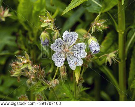 Cranesbill Geranium Flower And Buds In A Garden, Geranium Ibericum White Zigana