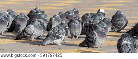 Pigeon Or Domestic Pigeon Or Columba Livia Domestica Or Rock Dove Or Rock Pigeon.