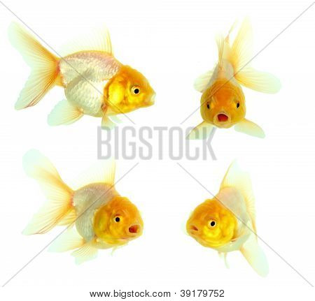 Gold Fish. Isolation On The White
