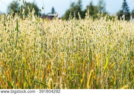 Growing Agricultural Crops In Countryside. Field Of Unripe Oats, Natural Organic Production Of Avena