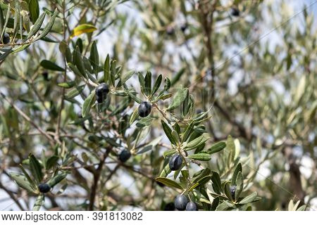 Olive Tree Branch With Black Ripe Fruits On Blur Background.