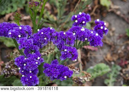 Beautiful Flowers Of Statice Or Limonium Sinuatum Or Wavyleaf Sea Lavender. Small Flowers With White