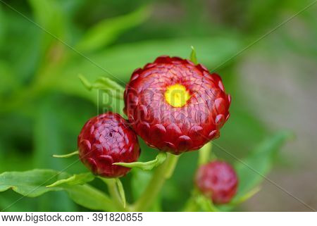 Beautiful Copper Red And Yellow Color Of Strawflower