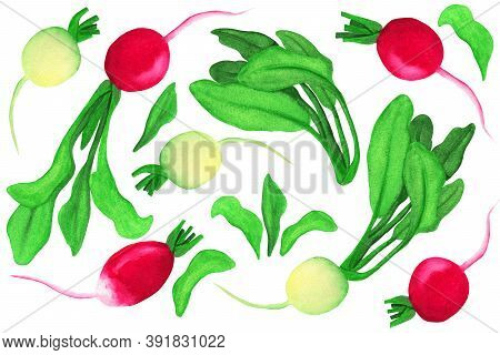 Pink And White Watercolor Set On Isolated White Background. Radish And Daikon Haulms Illustration In