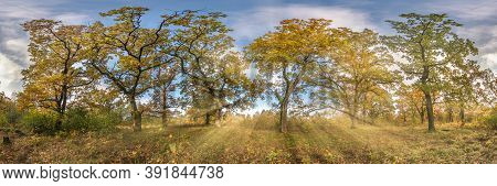 Beautiful Autumn Forest Or Park Of Oak Grove With Clumsy Branches Near River In Gold Autumn. Hdri Pa