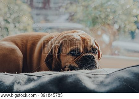 Close Up Portrait Of A Cute Puggle Dog Laying On A Cushion By The Window, Relaxing In Sunlight.