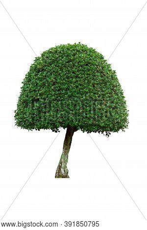 Green Bush Tree Isolated On White Background.