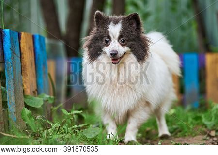 Pomeranian Spitz Dog In Garden. Cute Pomeranian Puppy On Walk, White Black Color. Family Friendly Fu