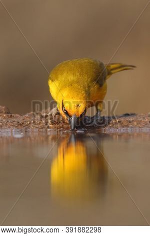 The Spectacled Weaver (ploceus Ocularis) In The Small Pond. A Small Yellow Weaver Drinks From A Smal