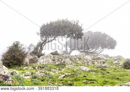 Landscape With Windswept Trees In The Fog In Sardinia, Italy