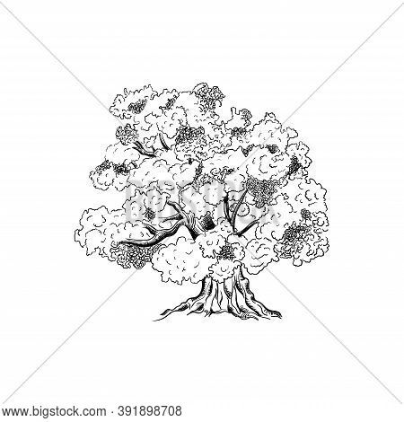 Ink Sketch Of Oak Tree. Hand Drawn Vector Illustration Isolated On White Background. Retro Style.