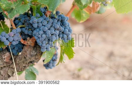 Close Up Of Bunches Of Ripe Blue Wine Grapes On Old Vine Trunk Background. Beautiful Bouquet Of Ripe
