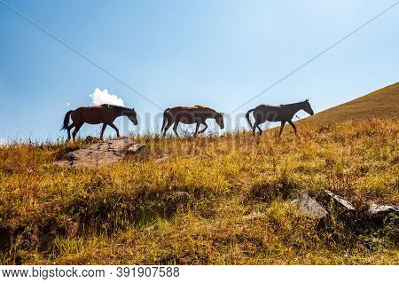 Three Wild Horses On Pasture In High Mountains. Wild Horses In Backlight Silhouettes Near Sary Chele