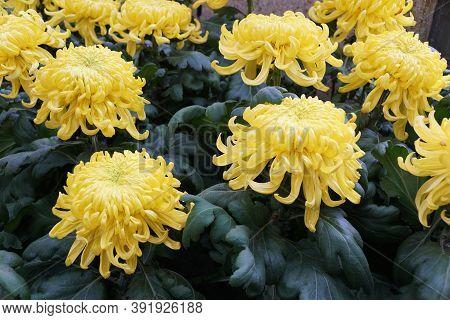 Beautiful Yellow Football Mum Flowers At Full Bloom