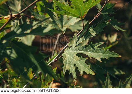 Closeup Of Green Plane Tree Leaves On Tree Branches With Sunlight. Platanus Orientalis, Old World Sy