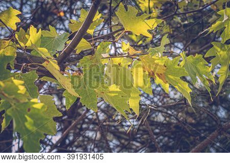 Green Color Plane Tree Leaves And Fruits Isolated On Sky Background. Platanus Orientalis, Old World