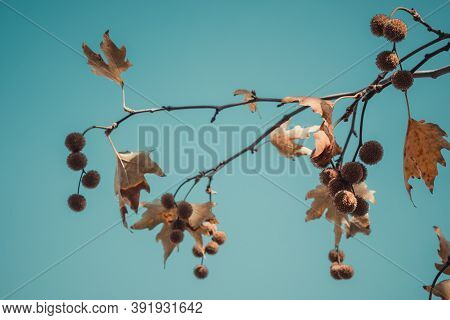 Brown Color Plane Tree Leaves And Fruits On Blue Sky Background. Platanus Orientalis, Old World Syca