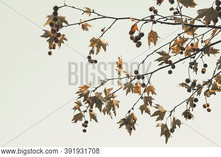 Brown Color Plane Tree Leaves And Fruits On Sky Background. Platanus Orientalis, Old World Sycamore,