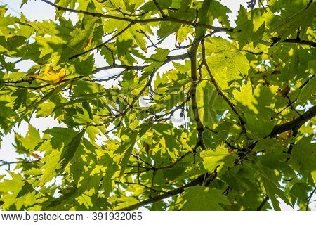 Green Plane Tree Leaves On Tree Branches With Sunlight. Platanus Orientalis, Old World Sycamore, Ori