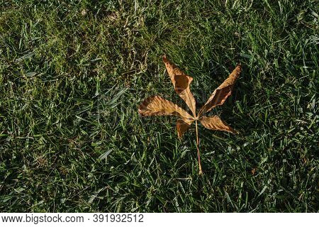 One Dry Brown Plane Tree Leaf On Green Grasses. Platanus Orientalis, Old World Sycamore, Oriental Pl