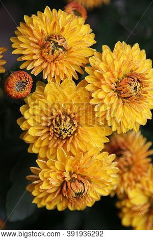 Four Double Chrysanthemum Flowers With A Bud In Dewdrops On A Dark Background