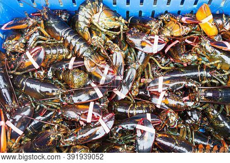 A Blue Bin Is Full Of Fresh Caught Live Maine Lobsters Ready To Be Cooked In A Restaurant.