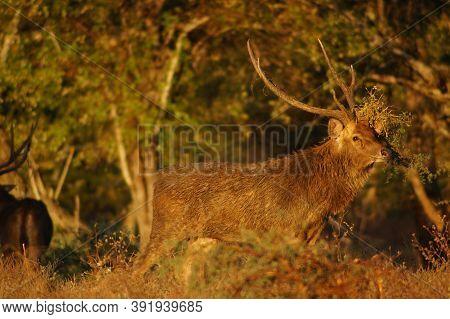 Deer In Forest, Javan Rusa In Baluran National Park, Java, Indonesia